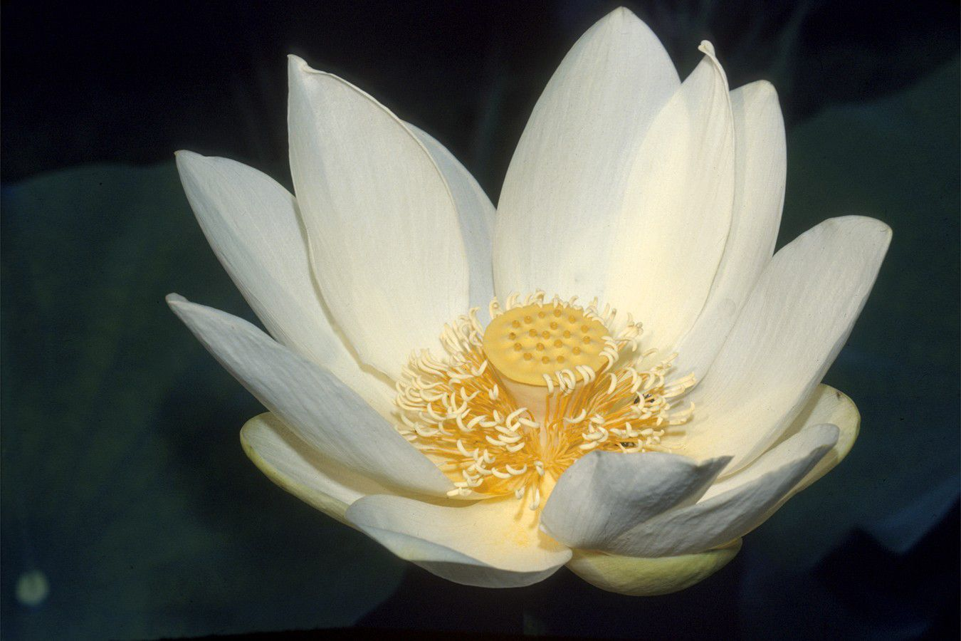 Nelumbo Lutea Blossom Pinterest Lotus Flowers