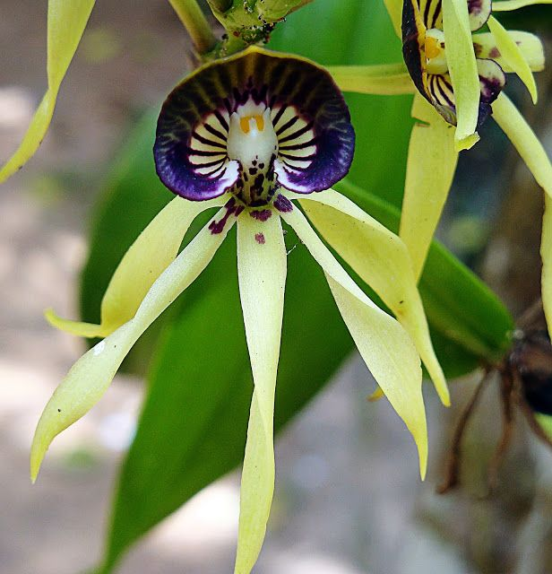 Love Orchid Flower The Black Orchid Flower