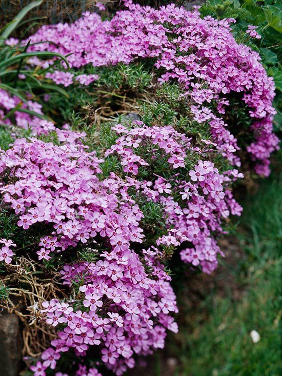 Moss Phlox: Perfect for rock gardens, alongside paved areas, the front of raised perennial gardens, or as a ground cover on a slope, moss phlox forms a dense, creeping mat up to 6 inches high and 2 feet wide. The small leaves are slightly prickly, and the entire plant is covered with fragrant white, pink, blue, lavender, or red flowers in spring. The foliage is semi-evergreen in northern US and evergreen in the South.