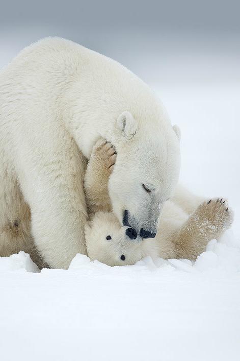 Pin By Tere Hdez On Earth S Extraordinary Creatures Baby Polar Bears Polar Bear Animals Wild