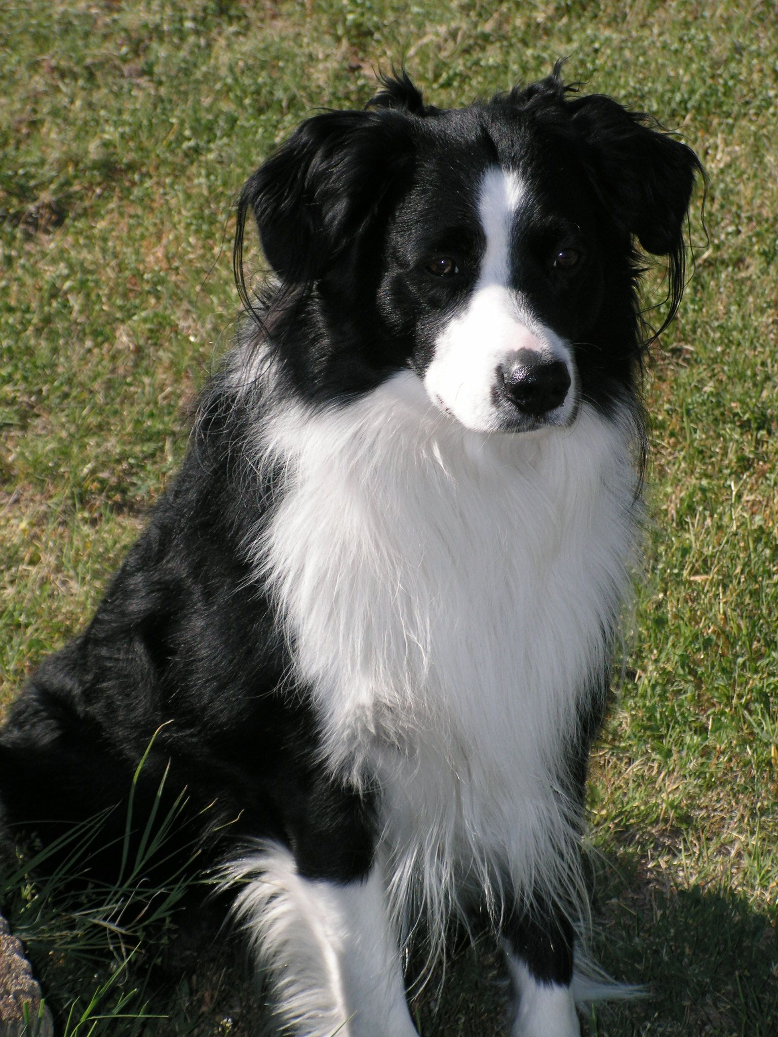 This Is Called A Bi Meaning Two Colors Black And White In This Case Ain T He A Cutie This One Is An Akc Aust Border Collie Animals Australian Shepherd