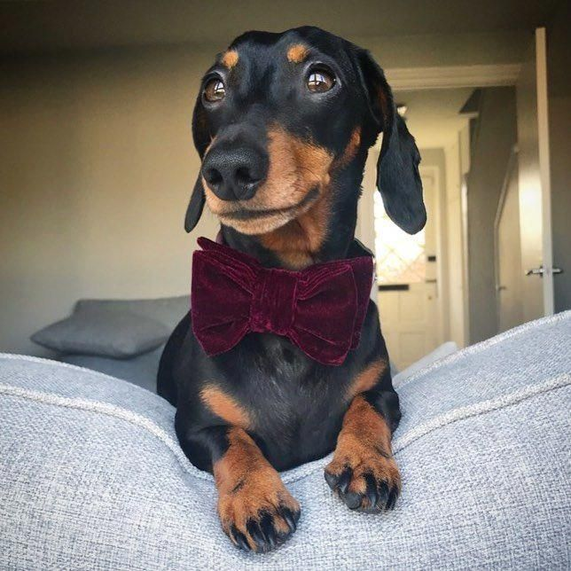 Everything About The Friendly Daschund Dogs Size Daschundonly