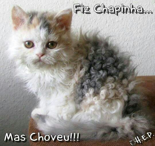 Curly Hair Animals Pinterest Cats Kittens And Cat Breeds