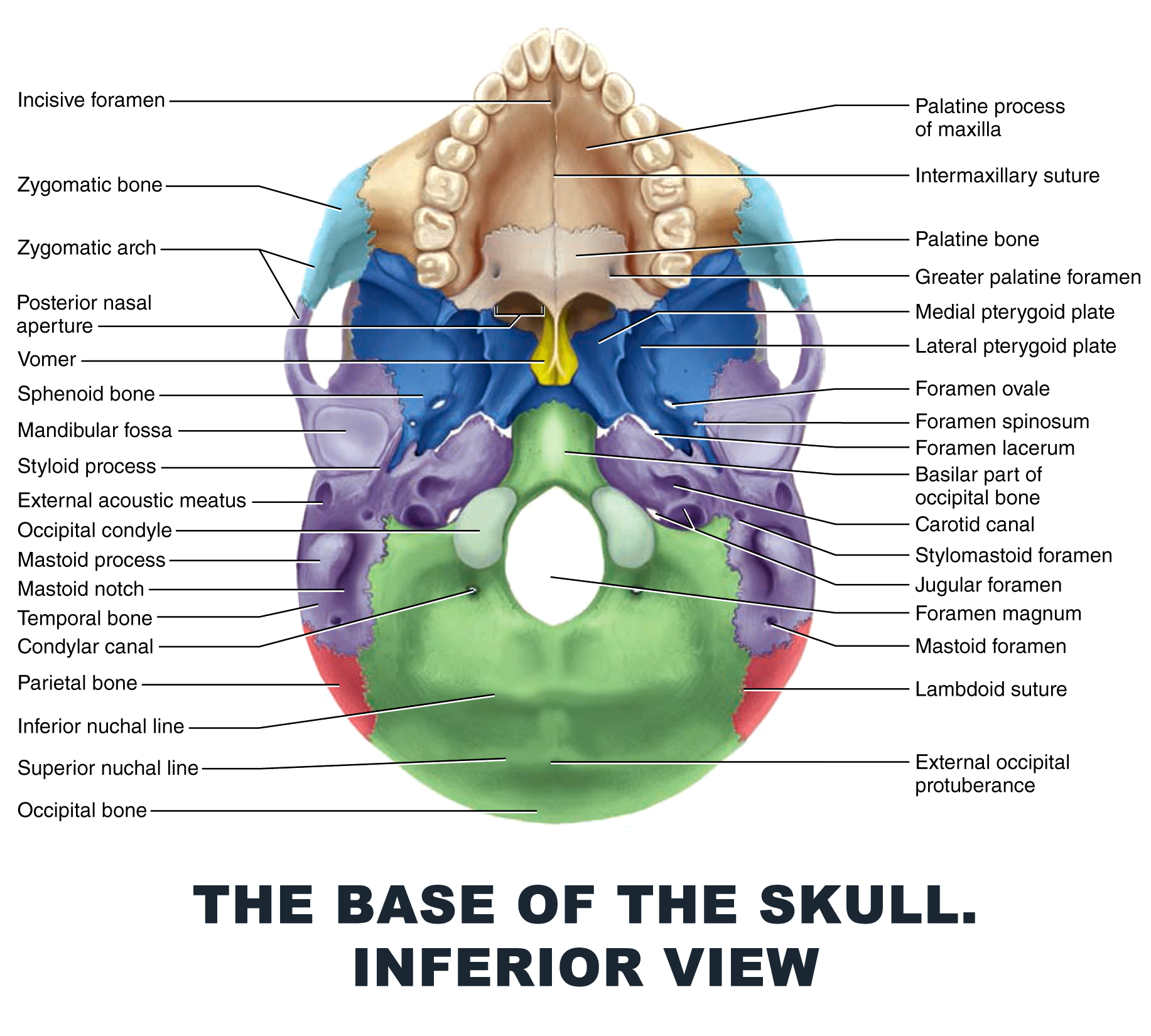The Base of the Skull. Inferior view - #anatomy images illustrations ...