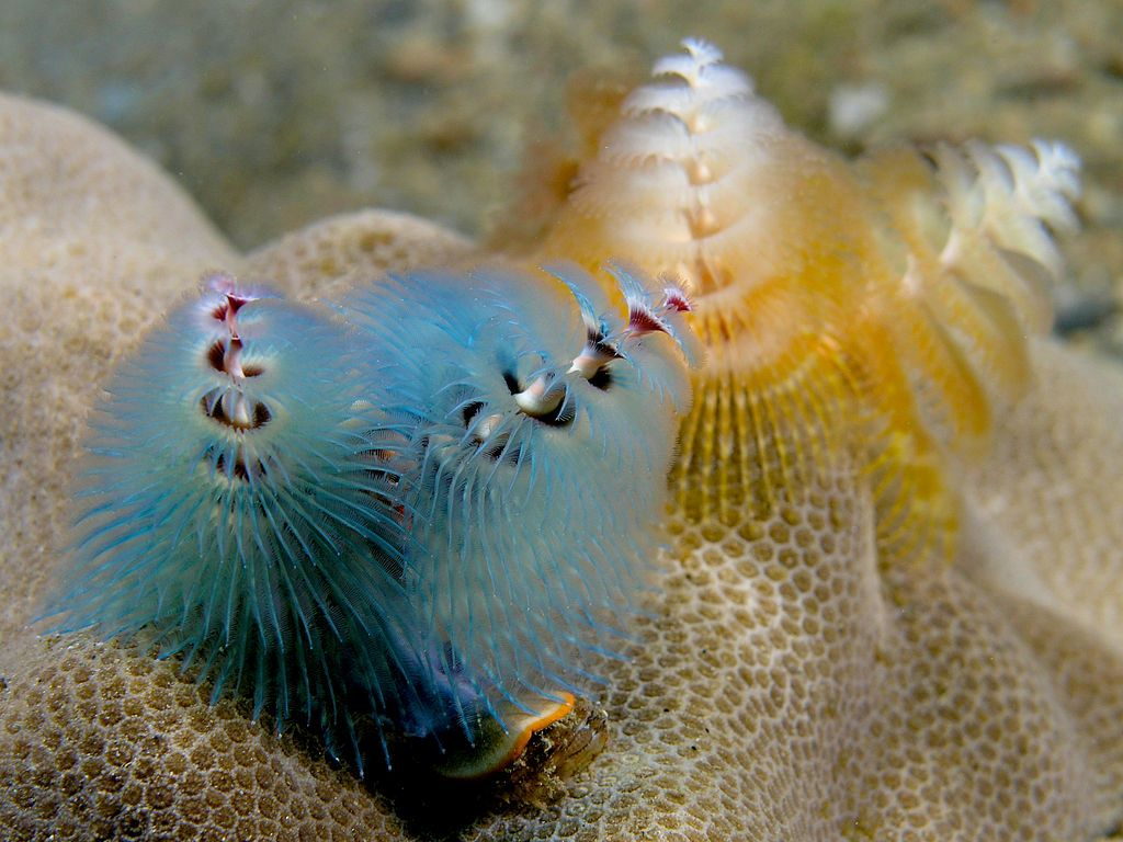 Blue And Peach Christmas Tree Worms Spirobranchus Giganteus Animal Planet Underwater Creatures Little Christmas Trees