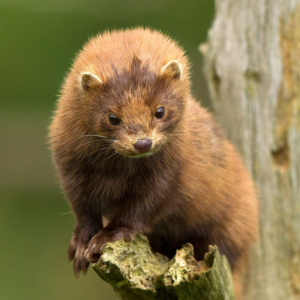 American Mink Neovison Vison Mink Animal North American Animals Cute Animals