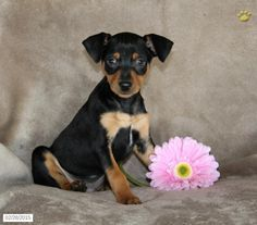 Miniature Pinscher Puppy For Sale In Pennsylvania Miniature