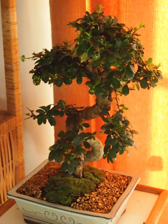 Product Overview Page Bonsai Soil Fukien Tea Bonsai Bonsai