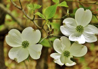 north-carolina-state-flower-dogwood.jpg (400×283)