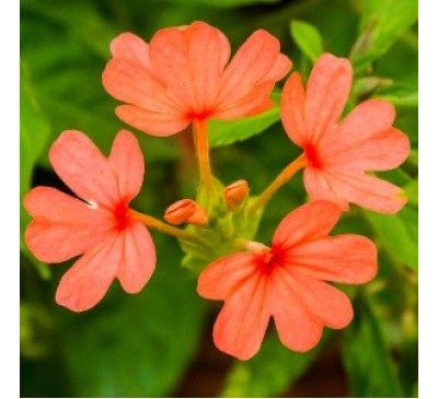 Aboli Plant240 Annual Plants Indian Flowers Plants