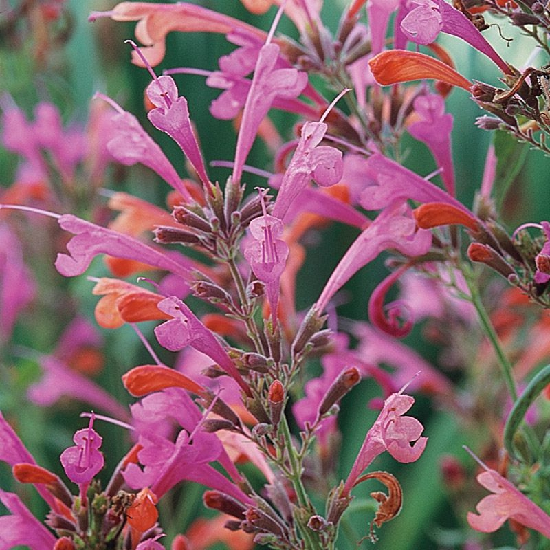 Agastache (Hummingbird Mint) are a group of very showy flowering perennials that have aromatic leaves and flowers. Because of their often startling beauty, Agastache have real…