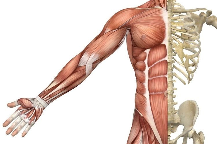 muscle types — science learning hub | drawing inspiration, Muscles