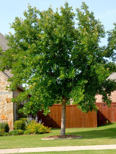 Best shade trees for north Texas. | Best shade trees ...