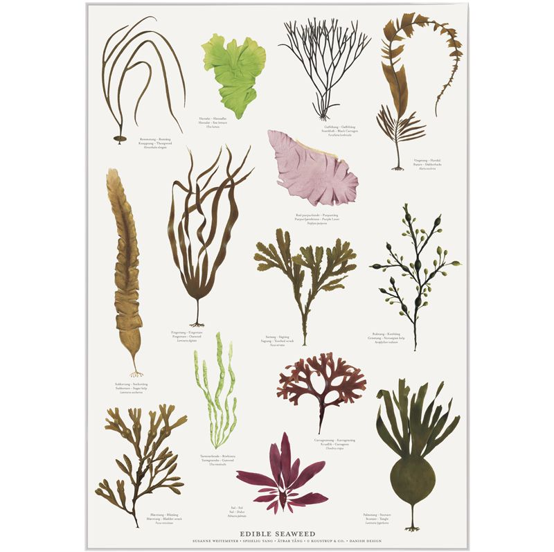 Spiselig Tang A2 Plakat Edible Seaweed Poster A2 In 2020 Edible Seaweed Edible Wild Plants Edible Plants