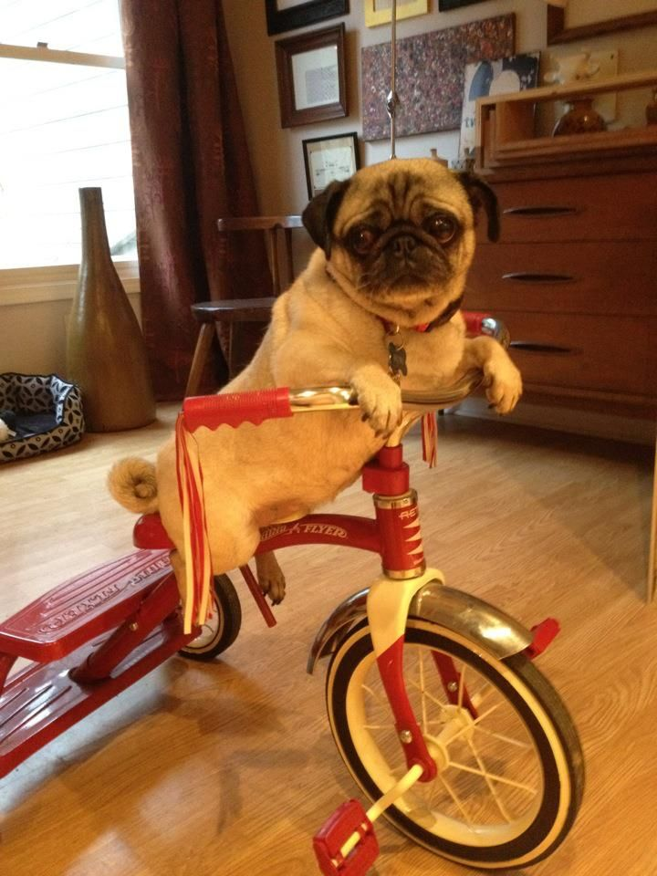 Pug On Tricycle Tricycle Pugs My Baby Girl