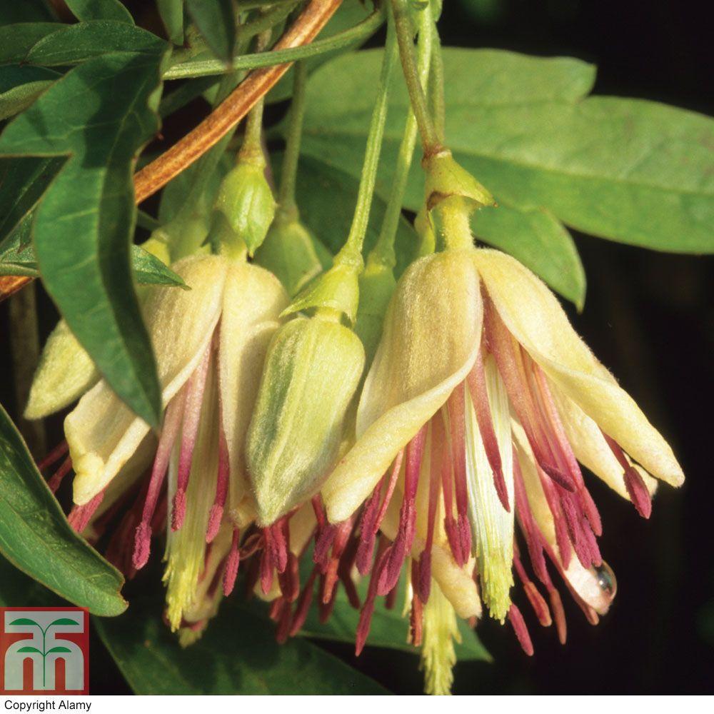 WINTER Flowering! Clematis napaulensis Flowering Period