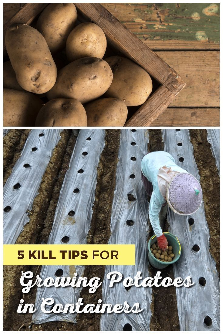 One of the most versatile crops in terms of growth needs, potatoes typically grow well in containers. Growing potatoes in containers involves only a few tweaks to garden growing. Here are the top tips for growing potatoes in containers. #Sproutabl #Garden #Gardening #Plants #GardeningTips #Vegetables #VegetableGardening #Potatoes #growingpotatoes One of the most versatile crops in terms of growth needs, potatoes typically grow well in containers. Growing potatoes in containers involves only a fe #growingpotatoes