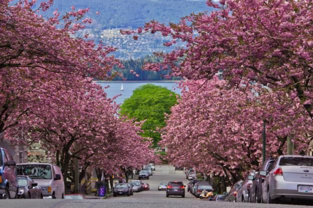 Stunning Cherry Blossom Trees In Vancouver What A Site Places To See Cherry Blossom Festival Vancouver Beach