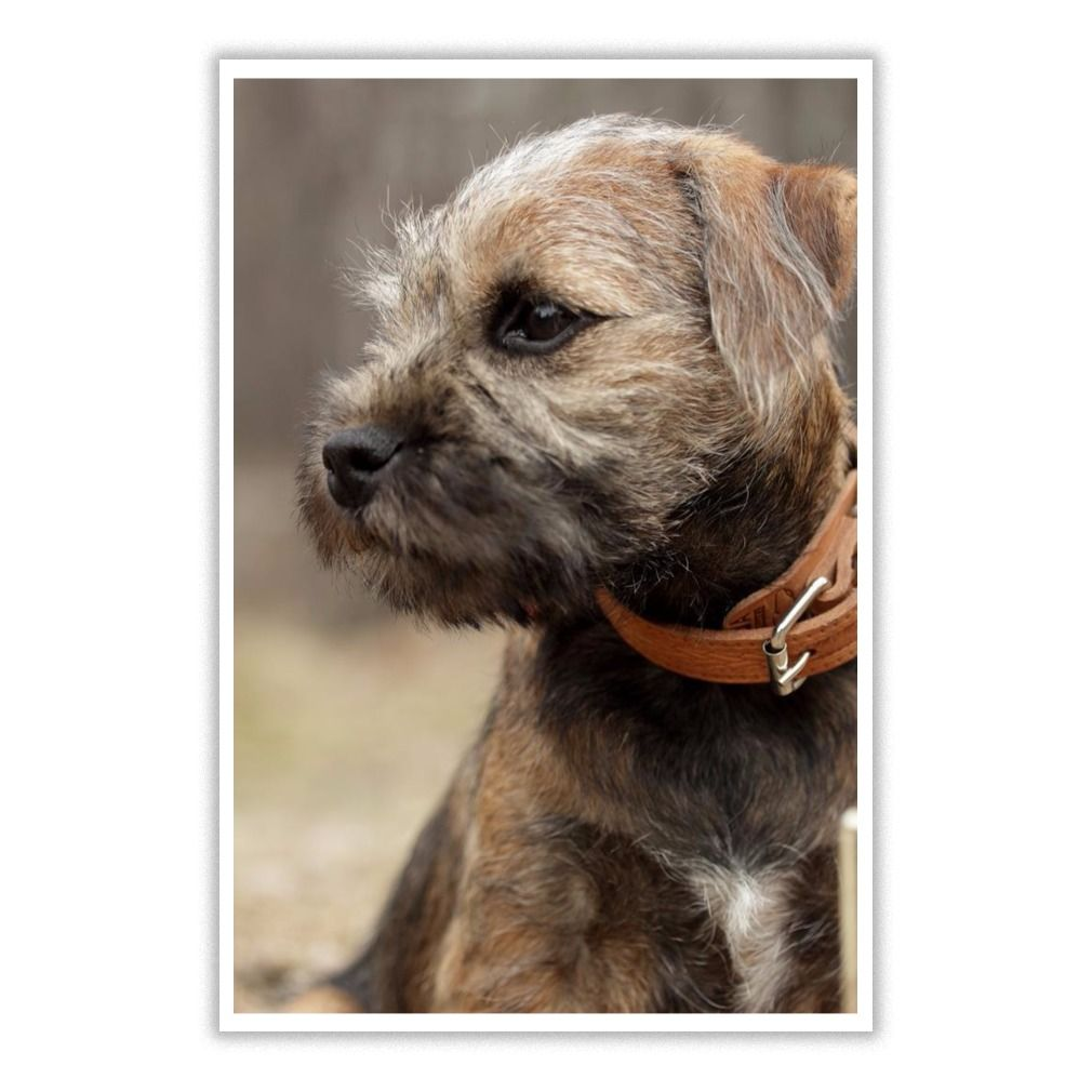 I Love Border Terrier Dog 17 Poster Border Terrier Terrier