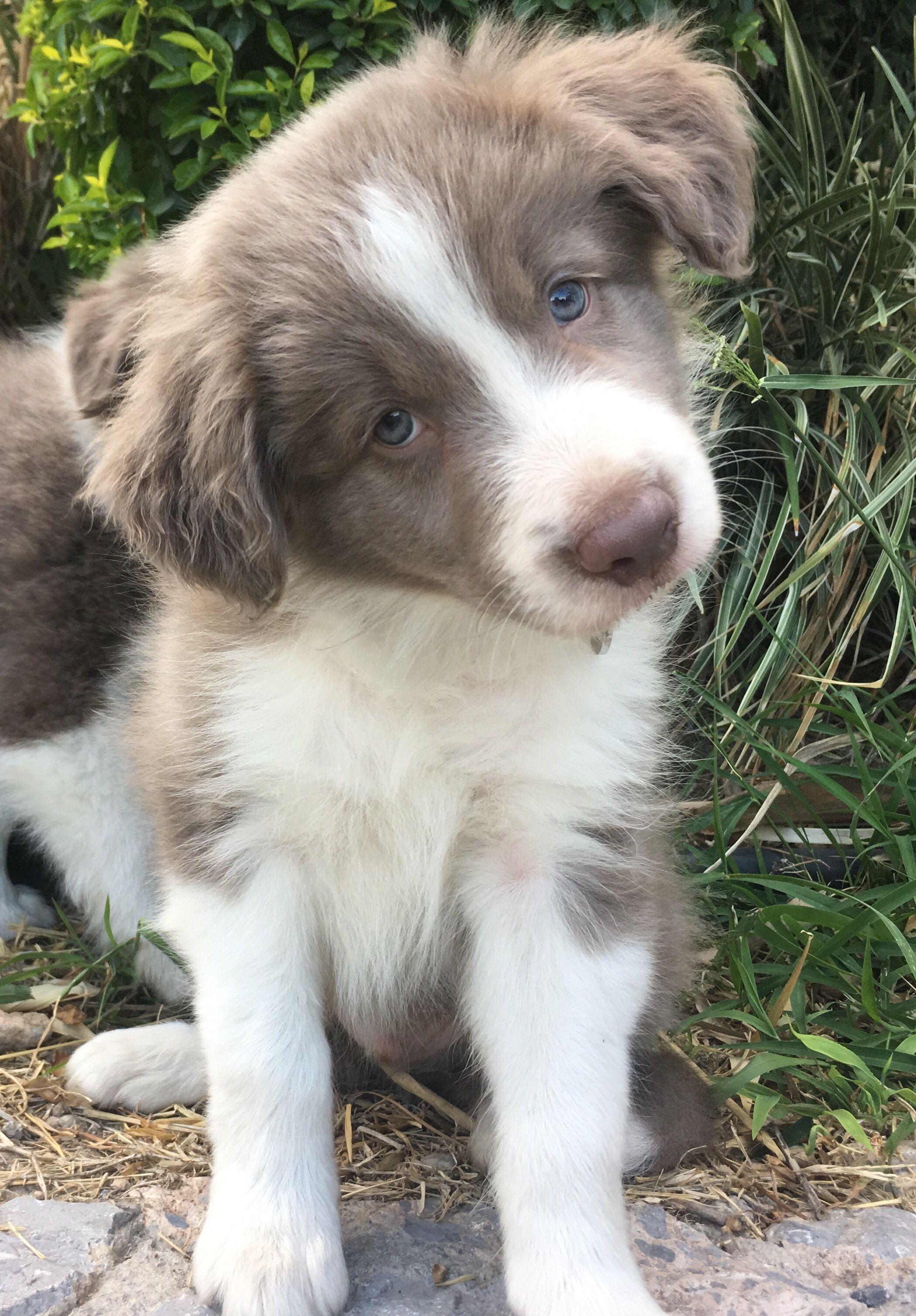 Border Collie Puppy Lilac Australian Shepherd Shepherd Dog Breeds Border Collie Puppies