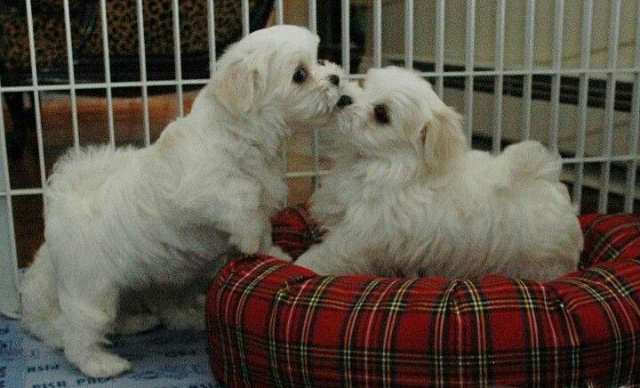 Maltese Puppies Love Em So Much Maltese Dogs Puppies Maltese Puppy