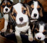 Beaglier Beagle X Cavalier Dogs And Puppies For Sale New South