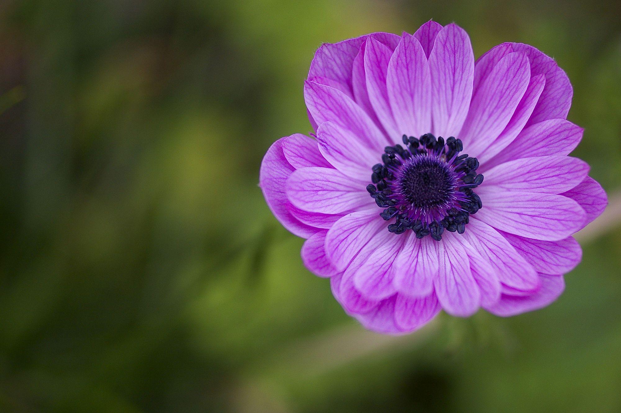 Anemone Flower Names Anemone Beautiful Flowers