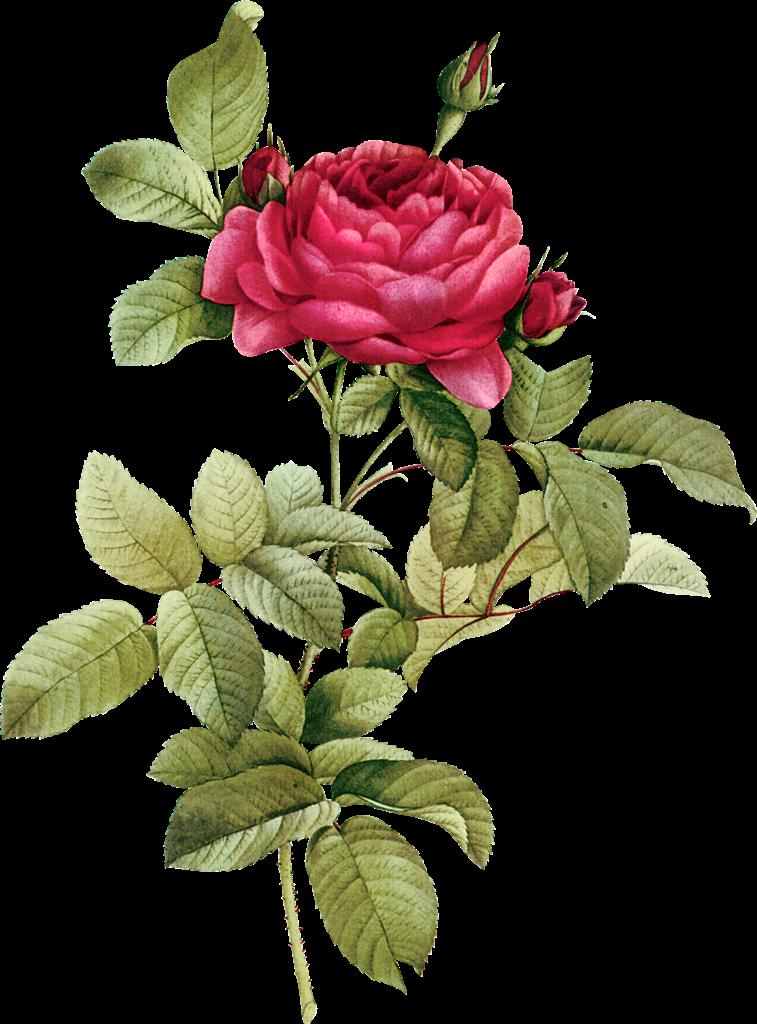 Flower Clipart Vintage Buds Png 757 1024 Botanical Drawings Botanical Illustration Botanical Art