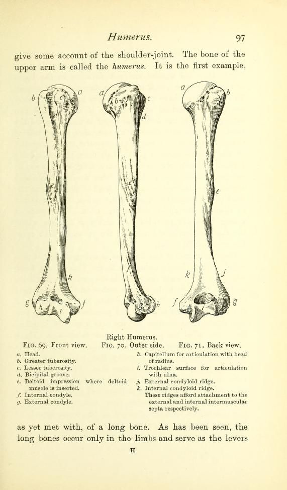 The Humerus From A Handbook Of Anatomy For Art Students By