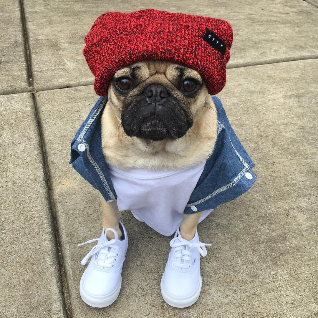 Doug The Pug On Instagram Back At It Again With The White Vans