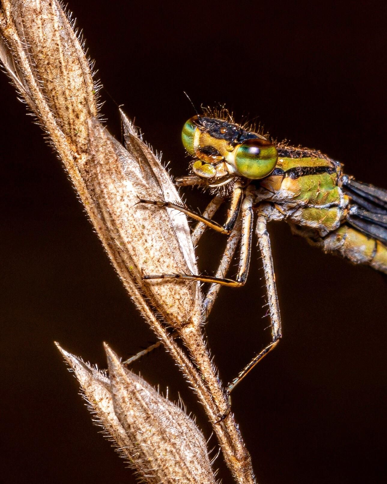 Itap Of A Damsel Fly Photo Background Editor Wallpaper