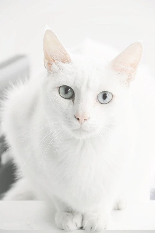 White Beauty Pretty Cats White Cats Beautiful Cats