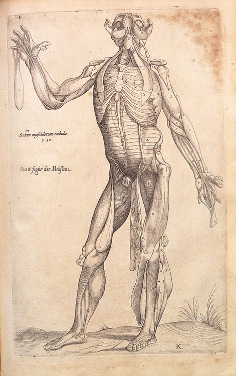 Andreas Vesalius - Anatomical drawings | anatomia | Pinterest ...