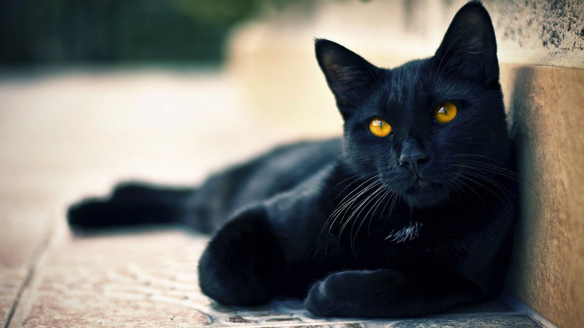 The Top 5 Pictures Of Black Cats Cats Paradise Cute Black Cats Black Cat Yellow Cat