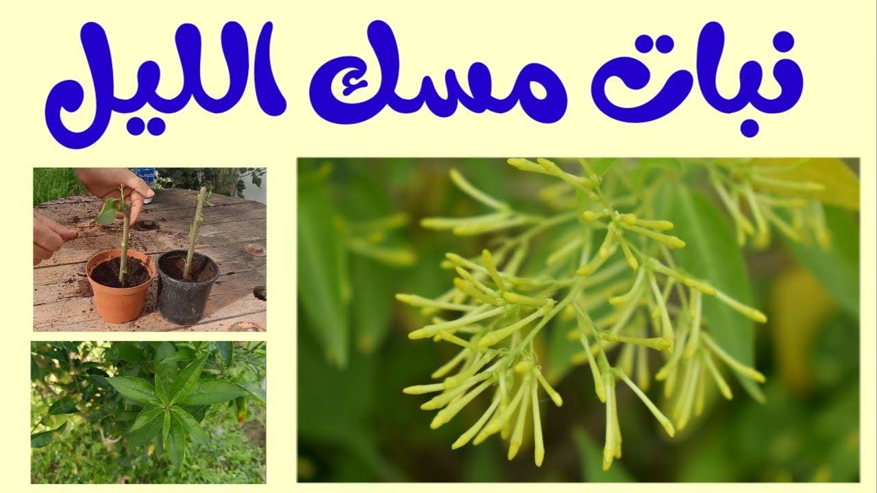 نبات مسك الليل إكثار و تزهير و ري و سماد Jasmine Night Youtube Herbs Garden Home Cooking