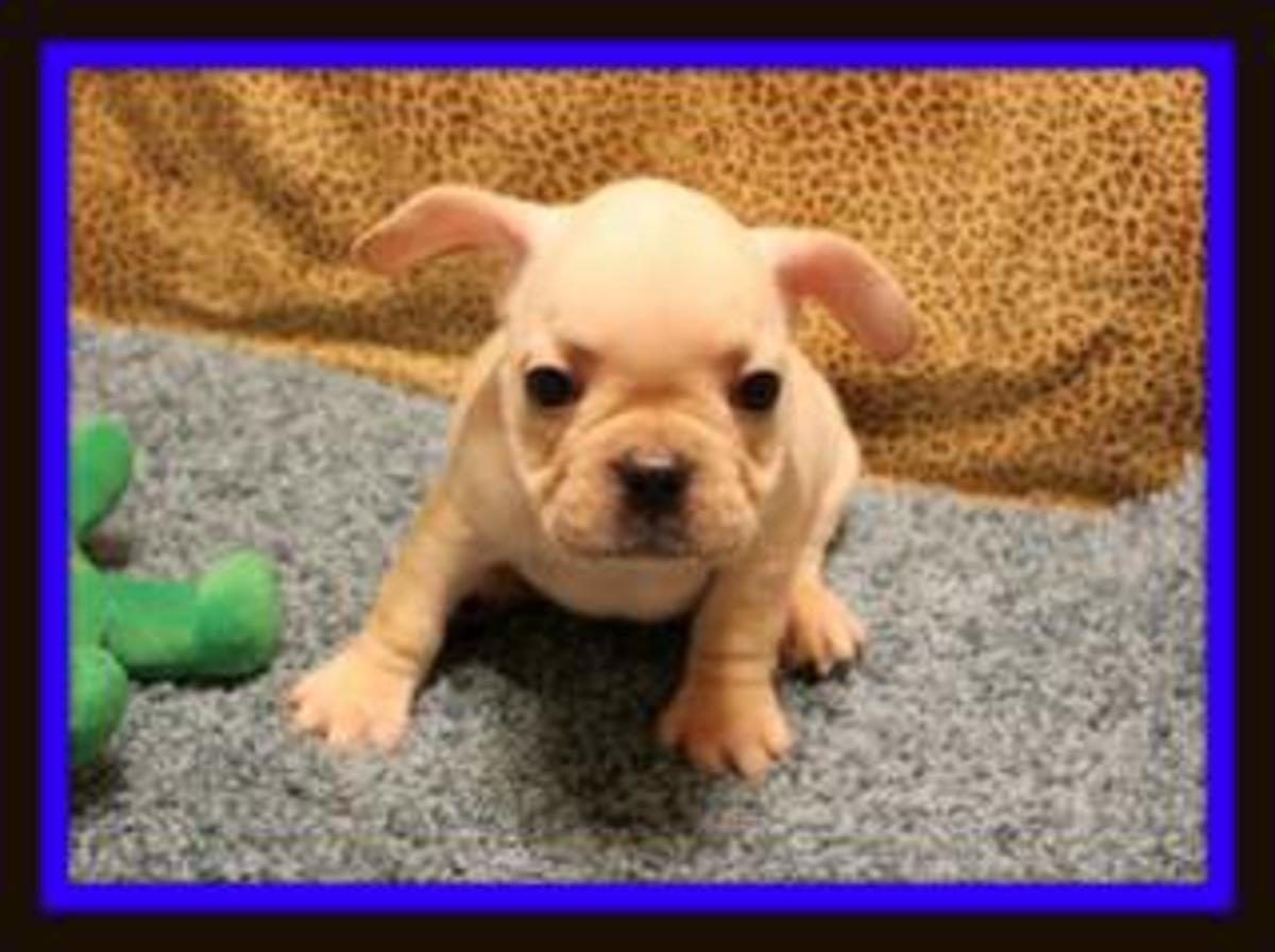 Akc French Bulldog Puppies Frenchieforsale Frenchie4sale