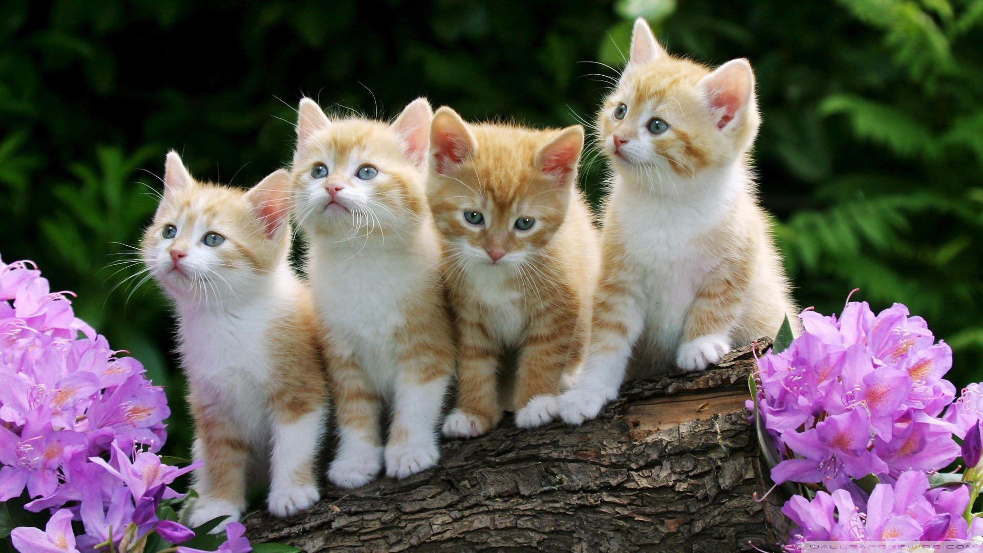 Hd 16 9 Kitten Wallpaper Beautiful Cats Kittens Cutest