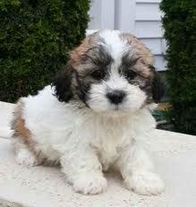 Love The Brown And Black No White Teddy Bear Puppies Puppies