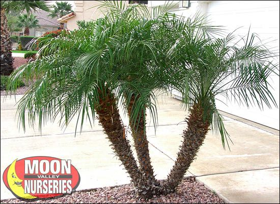 Pygmy Date Palm For Sale Cold Hardy Arizona Palm Trees Moon Valley Nursery Palm Trees Propagating Plants Pruning Fruit Trees