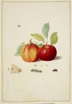 Two Apples with Gypsy Moth