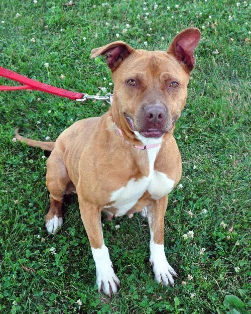 Adopt Tifa on Pitbulls, Pitbull terrier, Dogs