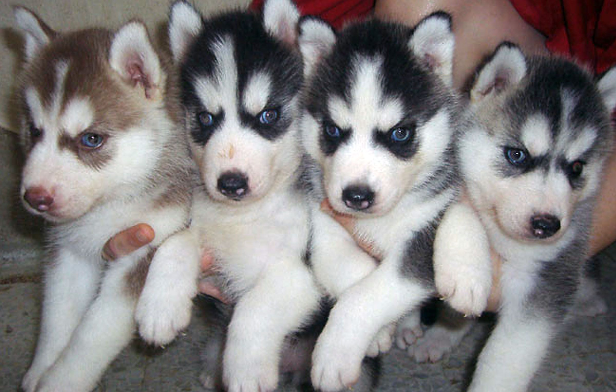 i want one Siberian husky puppies, Husky puppy, Husky
