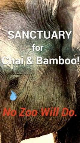 Woodland Park Zoo Chooses Suffering Over Sanctuary For Elephants Bamboo And Chai Woodland Park Zoo Save The Elephants Elephant