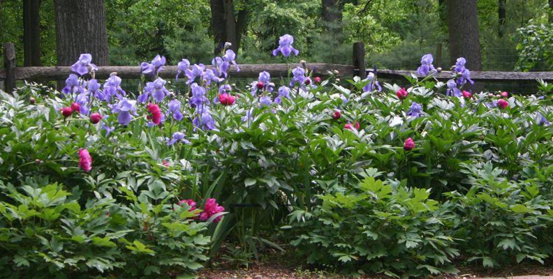 Perennial Garden Plant combination Dwarf Tree Peonies