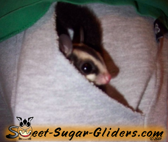 Fluffy gliders | Sweet Sugar Gliders - Are Sugar Gliders Perfect Pocket Pets?