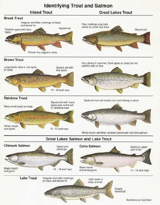 Pdf of great lakes fish in mi lake michigan fishing for How to fish for trout in a lake