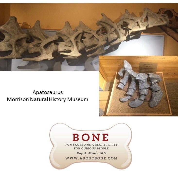 dinosaur bone, spine, skeleton, toes, phalanges, apatosaurus, Morrison Natural History Museum #historyofdinosaurs dinosaur bone, spine, skeleton, toes, phalanges, apatosaurus, Morrison Natural History Museum #historyofdinosaurs