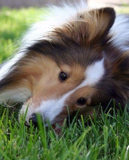 COLLIE, BEAUTIFUL DOG