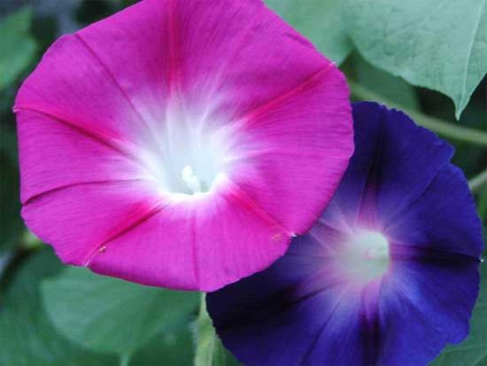 Dream Catcher Ipomoea Purpurea Morning Glory 10 Seeds