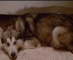 Nanook from Lost Boys